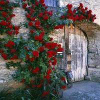 小院的蔷薇